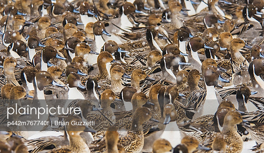 A flock of northern pintails (anas acuta) congregates while snow falls in winter;Iwate prefecture japan