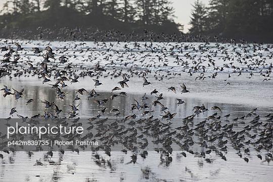 Thousands Of Shorebirds In Flight On Chesterman Beach;Tofino Vancouver Island British Columbia Canada