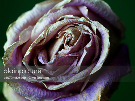 Close-up of a dying purple rose head