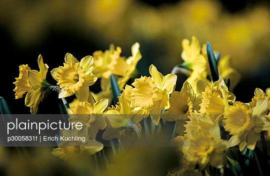 Yellow daffodils, Narcissus pseudonaricissus