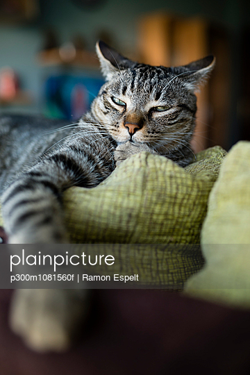 Portrait of tabby cat snoozing on backrest of couch