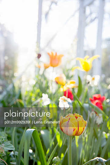 Tulips and daffodils flowers