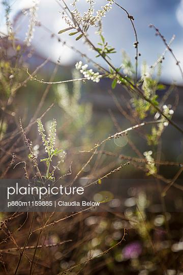 Pflanzen im Gegenlicht - p880m1159885 von Claudia Below