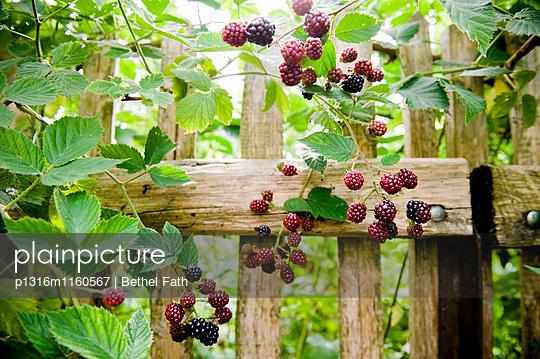 Brombeerstrauch im Garten, Brombeeren, Früchte - p1316m1160567 von Bethel Fath