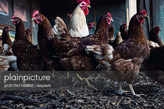 Hühnerhierarchie - p1317m1149802 von teryoshi