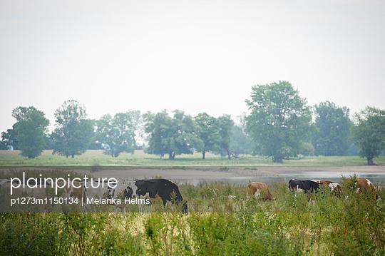 Kühe am Flussufer - p1273m1150134 von melanka