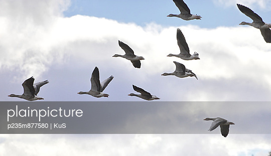 Flock of greylag geese I