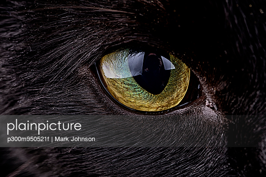 Eye of black cat, Felis silvestris catus