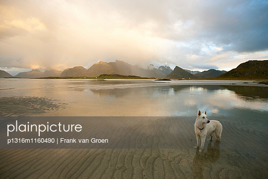 Weißer Schäferhund steht im Wasser vor Bergkulisse, Lichtstimmung, Landschaft auf den Lofoten, Herbst, Flagstadoya, Nordland, Norwegen, Skandinavien, Europa - p1316m1160490 von Frank van Groen