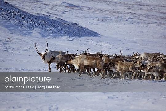 Rentierherde, Tschukotka , Sibirien, Russland - p1316m1161112 von Jörg Reuther