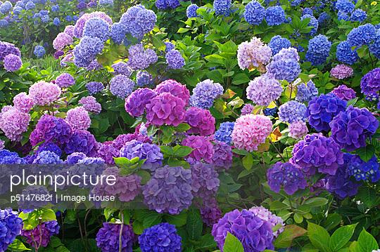 Hydrangea flowers, Hokkaido prefecture, Japan