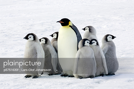 Emperor penguin with children the Antarctic