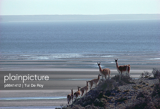 Guanaco family group in sparse coastal Patagonian steppe habitat