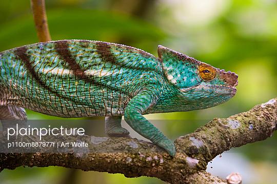 Parson\'s chameleon