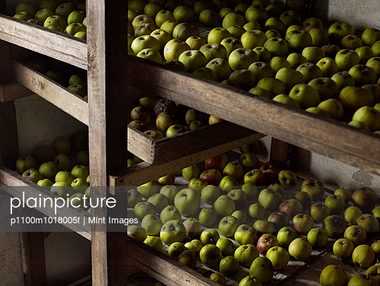 Green apples arranged in rows for over-winter storage on wooden shelves.