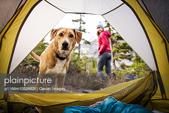Curious dog peeking inside tent,