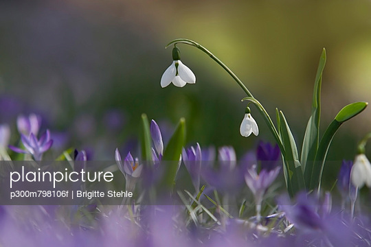 Galanthus and Crocus flowers