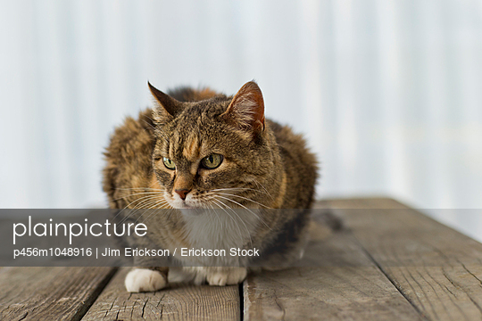Tortoiseshell cat sitting on a wooden surface