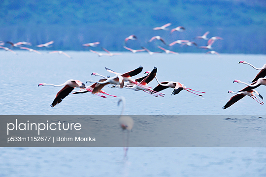 Flamingos im Anflug - p533m1152677 von Böhm Monika