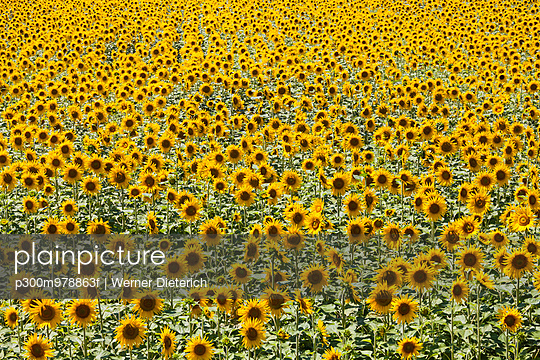 France, Provence, sunflower field, Helianthus annuus