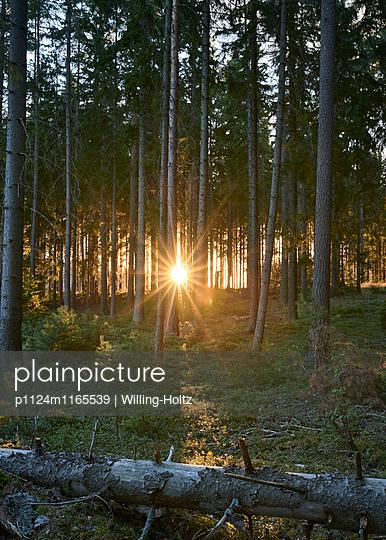 Sonnenuntergang im Wald - p1124m1165539 von Willing-Holtz