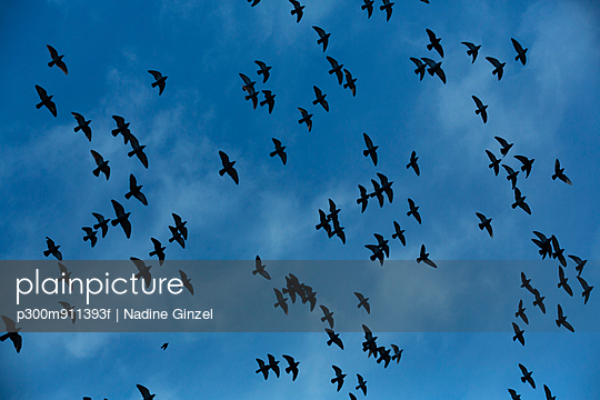 Flock of doves (Columbidae) flying in front of cloudy sky, view from below