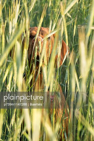 Hund im Getreide - p739m1147288 von Baertels