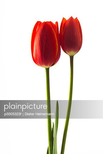 Tulips Tulipa gesneriana