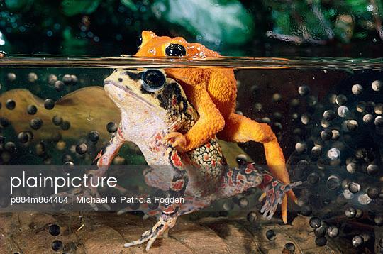 Golden Toad pair spawning underwater