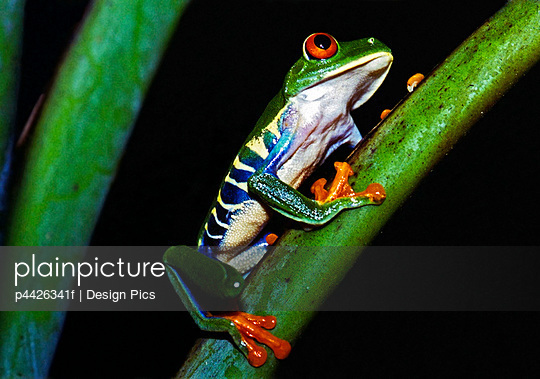 A brilliantly colored red-eyed tree frog (Agalychnis callidryas)