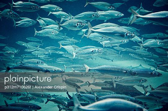 School of mackerel
