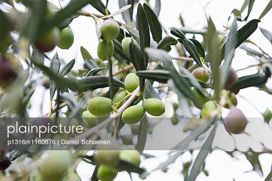 Oliven, Laigueglia, Provinz Savona, Riviera di Ponente, Ligurien, Italien - p1316m1160876 von Daniel Schoenen