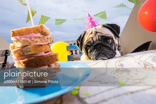 Pug wearing party hat at table looking at sandwich