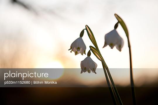 Frühlings-Knotenblumen im Sonnenuntergang - p533m1152680 von Böhm Monika