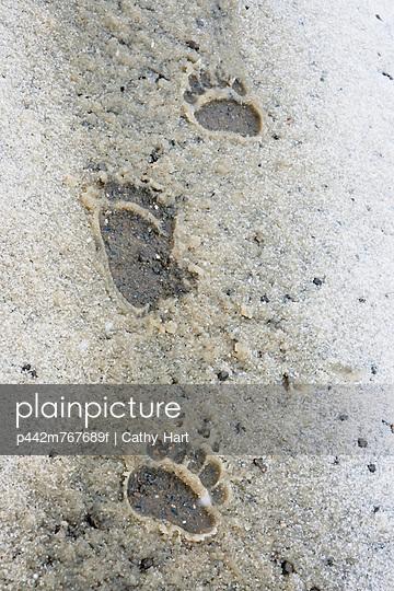 Bear paw prints in snow in denali national park;Alaska united states of america