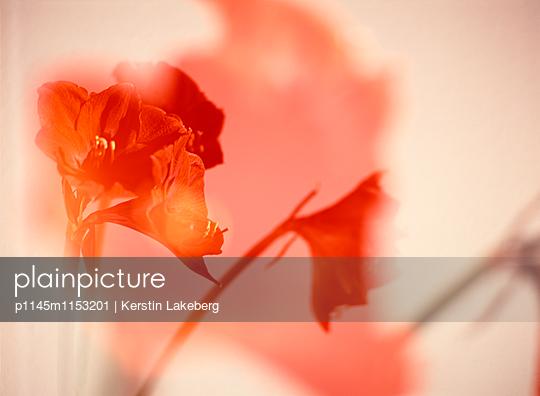 Amaryllen - p1145m1153201 von Kerstin Lakeberg