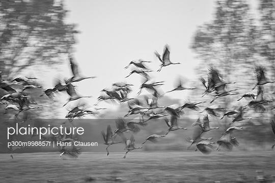 Flock of flying cranes