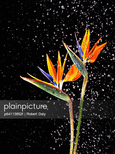 Water splashing on two bird of paradise flowers