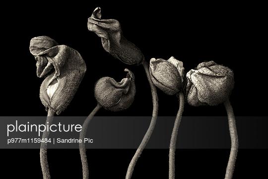 Mohnblumen Knospen auf schwarzem Hintergrund - p977m1159484 von Sandrine Pic