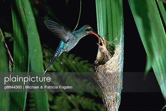 Green Hermit hummingbird female feeding chicks at nest