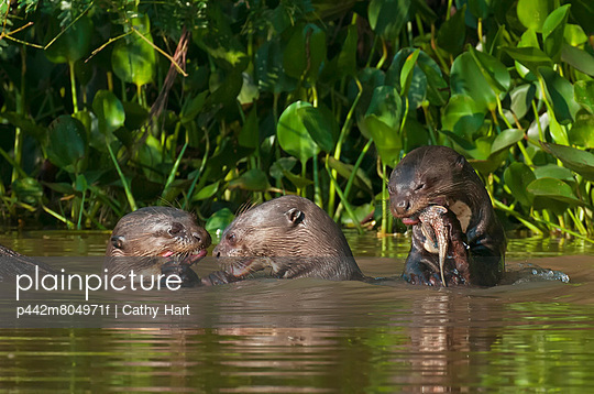 Giant river otters (pteronura brasiliensis) eat fish along the cuiba river in the pantanal;Brazil