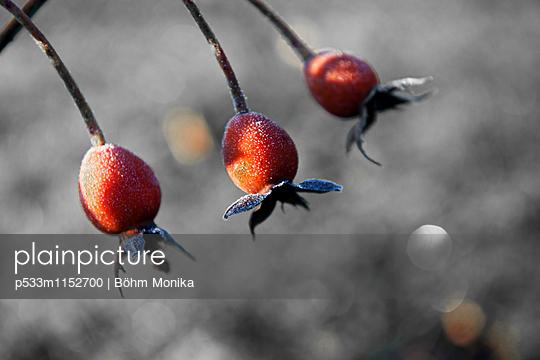 Hagebutten mit Raureif - p533m1152700 von Böhm Monika