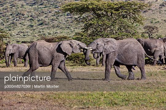 Kenya, View of African Elephant fighting at Masai Mara National Park