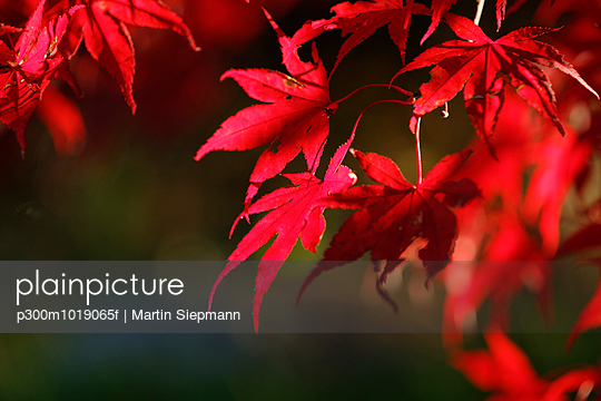 Red autumn leaves of an ornamental maple tree