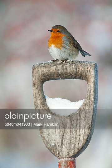 Adult Robin perched on spade handle in the snow in winter
