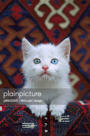 Domestic Cat white kitten with one blue eye and one green eye