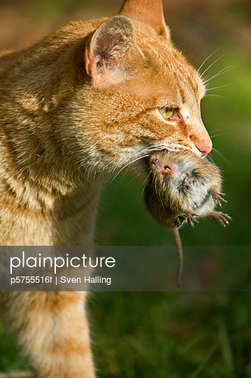 A cat with a mouse in the mouth