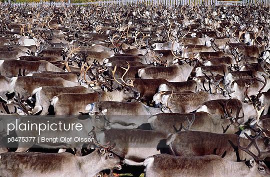 Herd of reindeer, northern Sweden