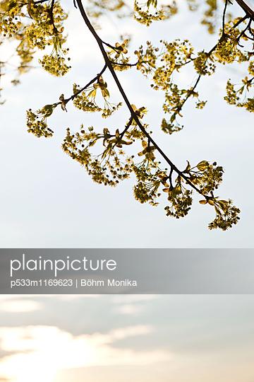 Blütenzweige eines Ahornbaumes - p533m1169623 von Böhm Monika