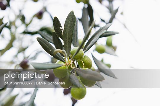 Oliven, Laigueglia, Provinz Savona, Riviera di Ponente, Ligurien, Italien - p1316m1160877 von Daniel Schoenen
